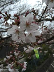 子育て 桜