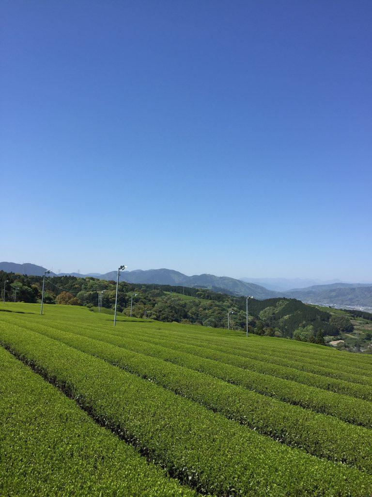 新茶シーズン