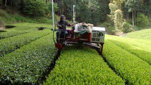 新茶 摘採