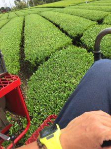 2016年1番茶摘採後