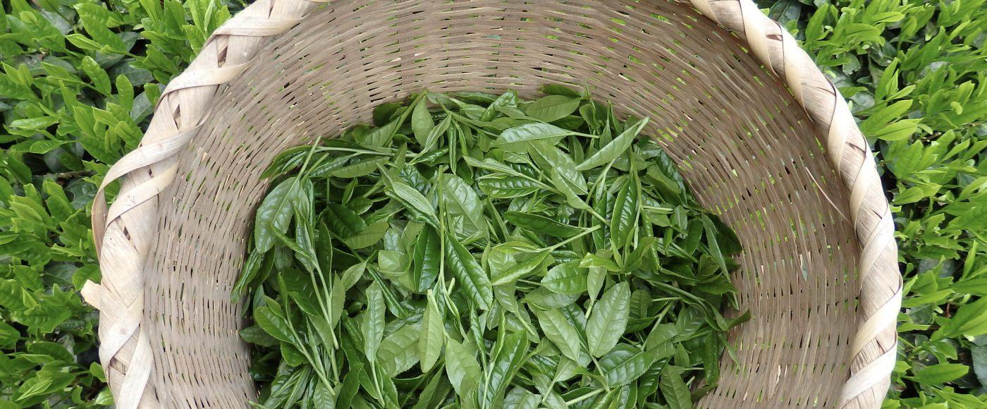 2016新茶 ミル芽